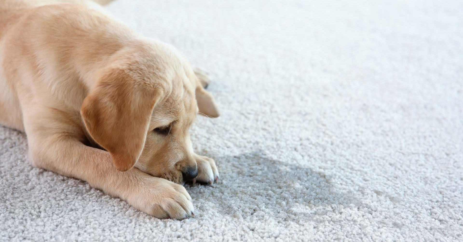 pet urine carpet cleaning service